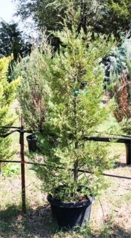Regular leyland Cypress