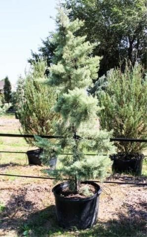 Arizona Cypress Chaparral