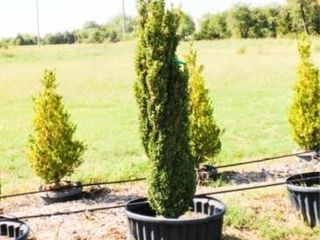 Grahm Blandy Boxwood Shrubs