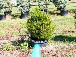 Cone Shaped Boxwood