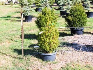 Boxwood Shrubs