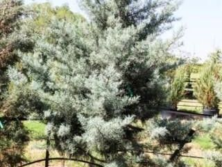 Blue Ice Arizona Cypress