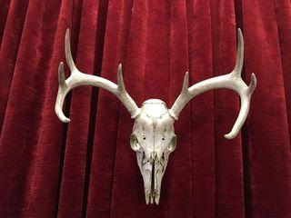 Bush Find Deer Skull   16 wide