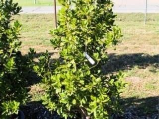 Oak leaf Holly