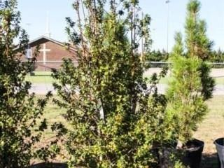 Dragon lady Holly