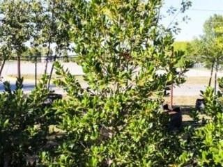 Nellie R Stevens Holly