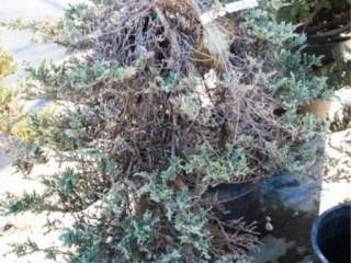 Blue Rug Juniper Ground Cover