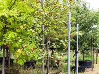 Tulip Tree 45 Gal