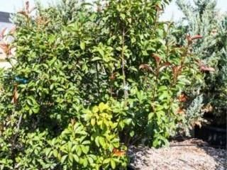 Red Tip Photinia Bush