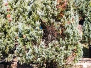 Wichita Blue Juniper