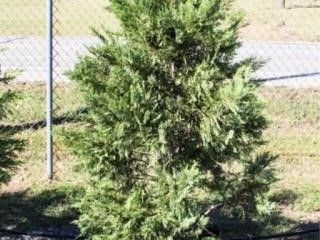 Green leyland Cypress