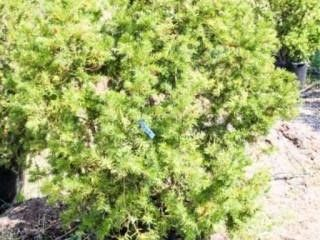 Red Berries Hicks Yew Hedge