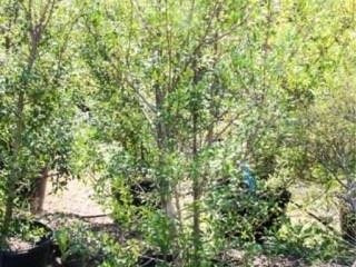 Foster Holly