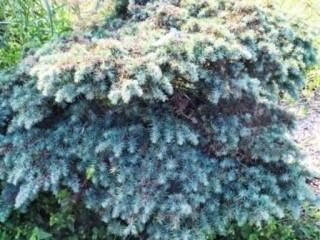Spreading Deadora Cedar