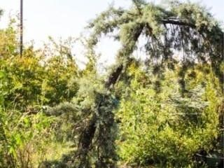 Weeping Arizona Cypress  Ray Wood Variety
