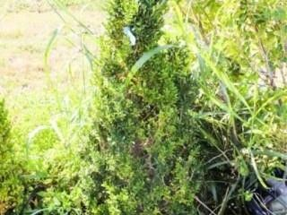 Cone Shaped English Boxwood