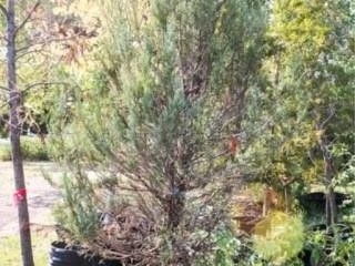 Skyrocket Juniper