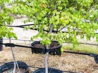 Red Bud lot 2061 30 Gal