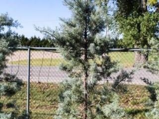 Blue Ice Cypress