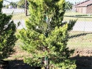Golden leyland Cypress