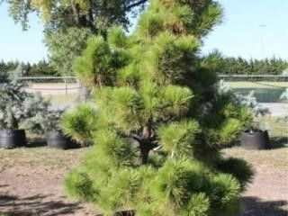 Thunderhead Pines