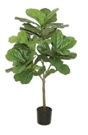 3  Fat leaf Fig Tree  Green  Retail 89 99