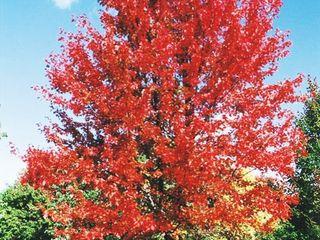 (1) Autumn Blaze Maple Tree --- Ba...
