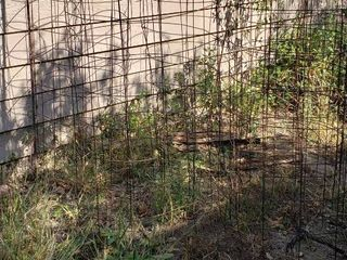 5 large Wire Tomato Cages   About 56 in  tall