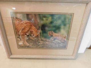 Framed Picture of Mountain lion   Cub