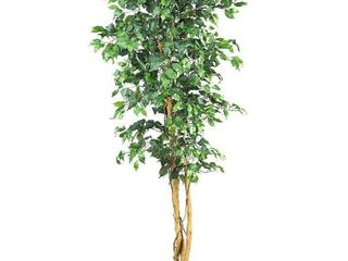 6  Ficus Silk Tree