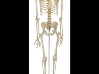 Educational Plastic Skeleton