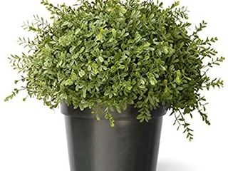 15 inch Mini Tea leaf 1 ball with Growers Pot