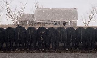 LAR Bull Sale