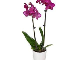Just Add Ice JAI242 Orchid Easy Care live Plants  5  Diameter  Purple