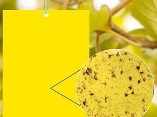 20 Pack Yellow Sticky Fruit Fly Traps and Gnat Trap Killer for Indoor  Insect like Fungus Gnats Whiteflies  Aphids  leafminers 8x6 Inch