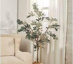 5 foot Olive leaf Tree in Starter Pot by Valerie
