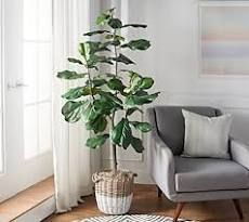6 foot Faux Fiddle leaf Tree in Starter Pot by Valerie