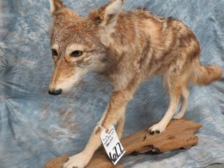 HUGE 2 DAY TAXIDERMY KING SALE - DAY 2